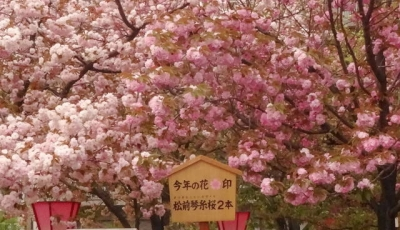 松前琴糸桜