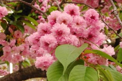数珠掛桜:じゅずかけざくら