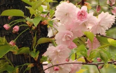 鎌足桜:かまたりざくら
