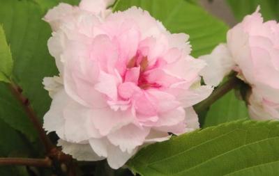 兼六園菊桜:けんろくえんきくざくら