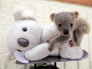 コアラの赤ちゃん 何と人形にしがみついてる!かわいい!埼玉県こども動物自然公園