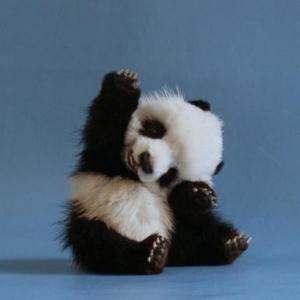 まるでぬいぐるみ!!パンダの赤ちゃん