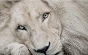 1ライオン