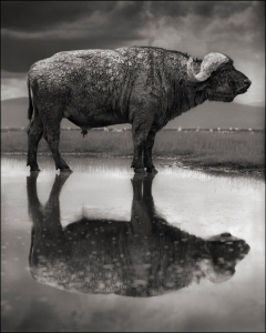 BuffalowithReflection.jpg