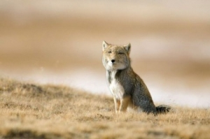tibetan-fox-piercing-stare02-480x319.jpg