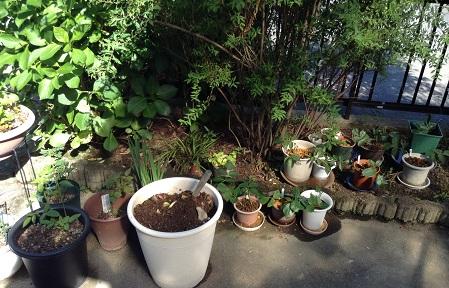 挿し木の鉢がいっぱい