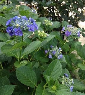 青紫の紫陽花