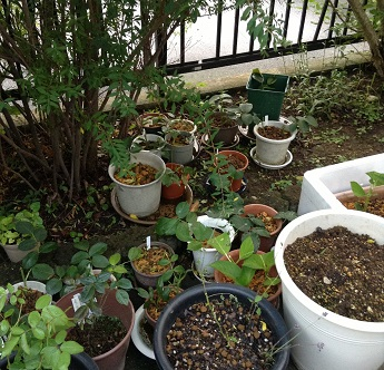 挿し木の鉢たち