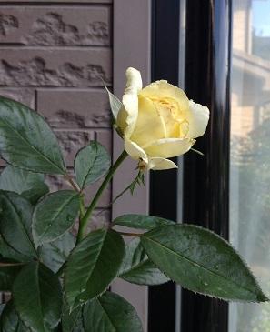 レモン&ジンジャも咲いてます^^