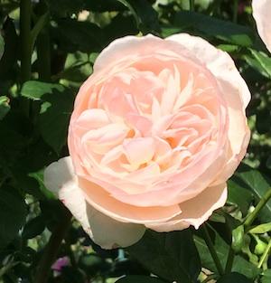 mintクオーター咲きピンク