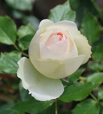 薔薇 薄い白