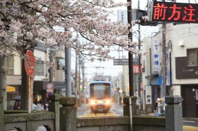 kamakurasakura+007_convert_20150410221841.jpg