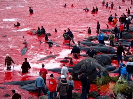 欧州 デンマーク イルカ漁1