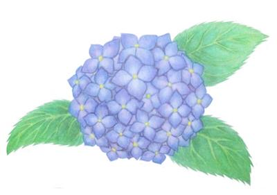水彩色鉛筆紫陽花・完成