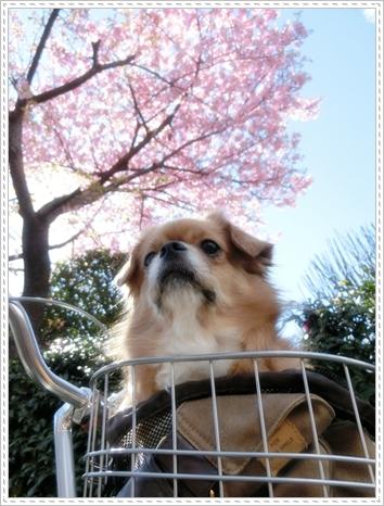 2015.3河津桜