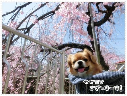 お花見hana2