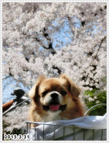 お花見hana3