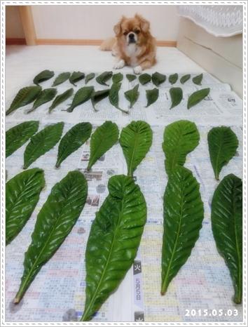ビワの葉1