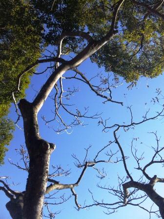 SH3H2623このーき何の木 木になる木
