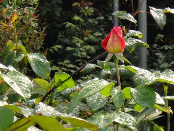 ROSE201505201.jpg