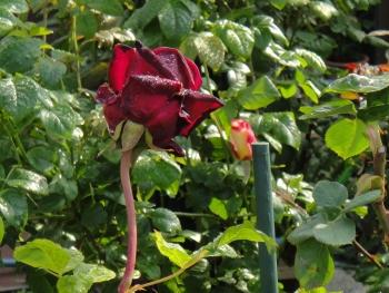 ROSE201505202.jpg