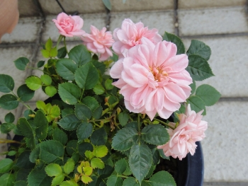 ROSE201505232.jpg