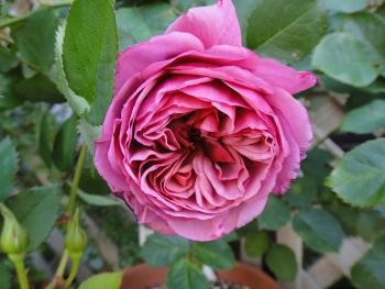 ROSE201505233.jpg