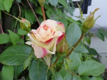 ROSE201505234.jpg