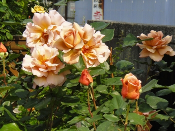 narayama2rose201505284.jpg