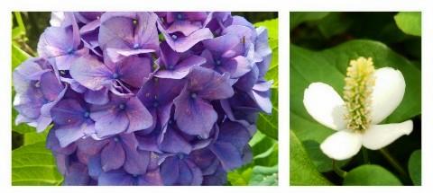 平成27年6月15日紫陽花