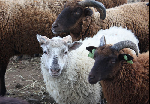 馬と羊 (4)
