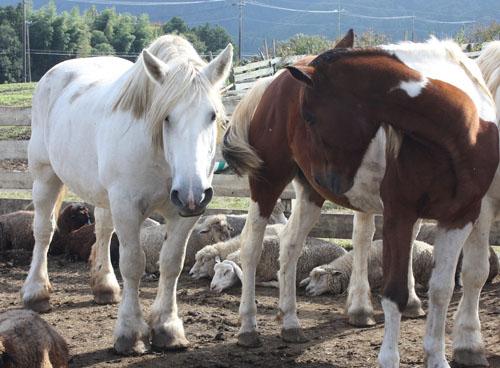 馬と羊2 (1)