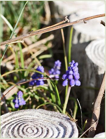 春の畑と桜シフォン (1)