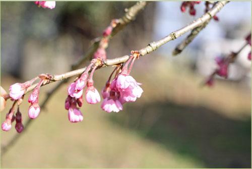 春の畑と桜シフォン (6)