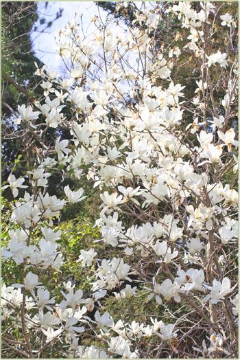 春の畑と桜シフォン (7)
