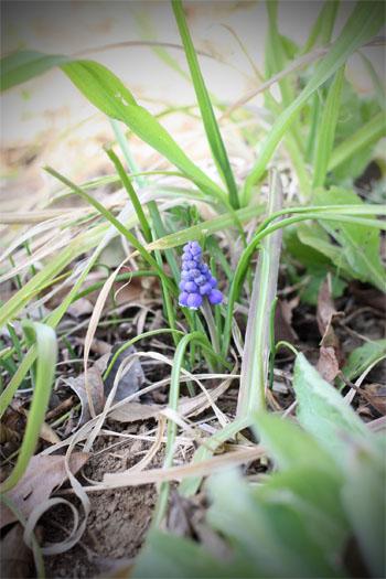 春の畑と桜シフォン (9)
