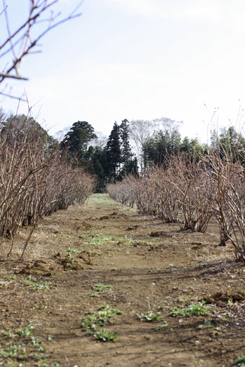 春の畑と桜シフォン (11)
