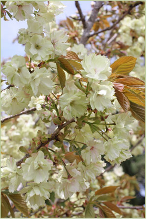 ウコン桜 猪野ナーセリー (2)