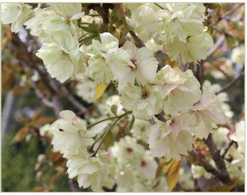 ウコン桜 猪野ナーセリー (3)