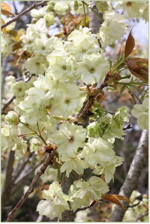 ウコン桜 猪野ナーセリー (4)