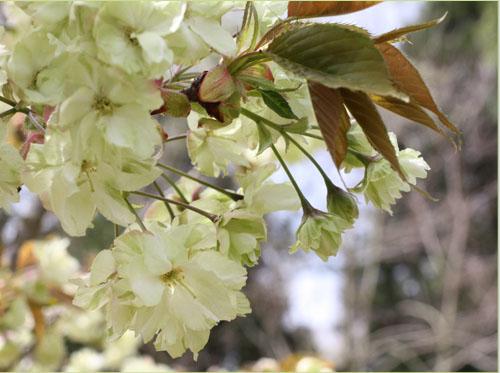 ウコン桜 猪野ナーセリー (5)