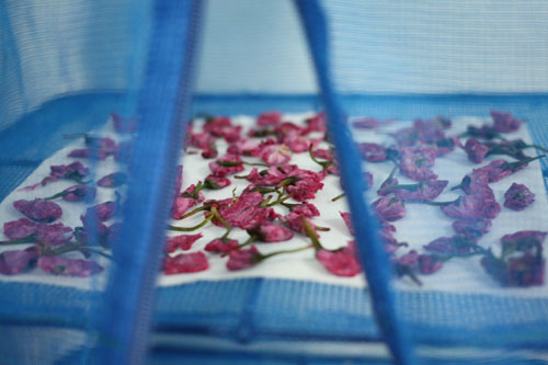 桜の塩漬け (1)