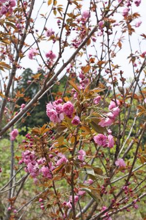 桜の塩漬け (2)