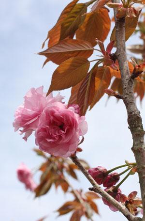 桜の塩漬け (4)