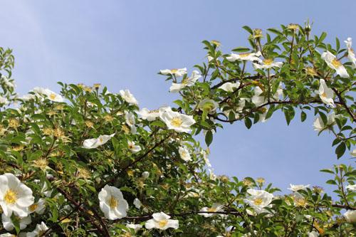 猪野ナーセリーのバラ (2)