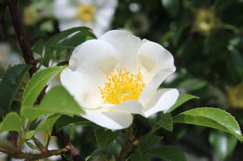 猪野ナーセリーのバラ (3)