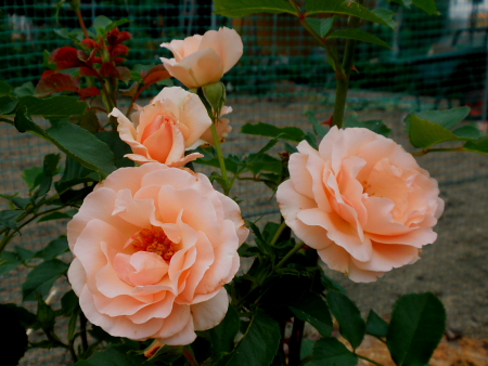 rose1506.jpg
