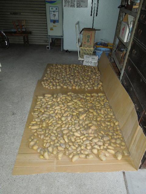 1ジャガイモの収穫