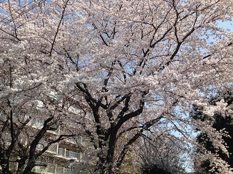 2017宮原桜満開