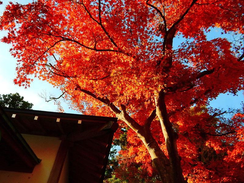141207鎌倉長谷寺の紅葉1